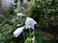 ホスタ - だんご虫の花