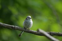 シマエナガ 幼鳥 (→訂正:成鳥) - やぁやぁ。
