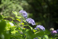 本土寺の紫陽花 ② - 光の贈りもの