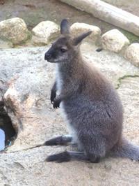ワラビーの「ゆうき」 - 動物園放浪記
