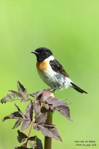ノビタキ成鳥 - THE LIFE OF BIRDS ー 野鳥つれづれ記