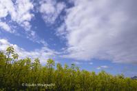 爽やか空と菜の花畑 - ekkoの --- four seasons --- 北海道