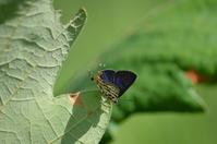 キマダラルリツバメ 6月22日 - 超蝶
