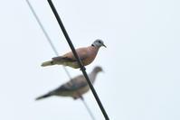 ベニバト(Red Turtle Dove)/2018.06 - Birding  in  Japan!