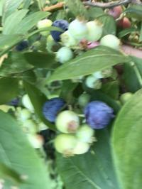 ブルーベリー収穫 - 花伝からのメッセージ           http://www.kaden-symphony.com
