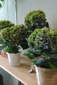 秋色アジサイ入荷しました - 花と暮らす店 木花 Mocca