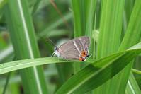 ultramarinusの輝き - 蝶と蜻蛉の撮影日記