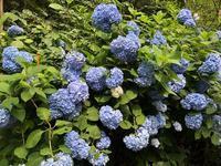 明月院の紫陽花 - おきらくごくらく(出張版)