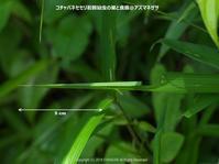 コチャバネセセリ幼虫の巣(6月下旬) - 探蝶逍遥記