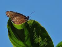 ツアーで沖縄、ついでに探蝶記(拾) - 不思議の森の迷い人