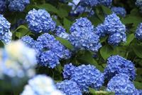京都大原三千院②紫陽花 - 暮らしを紡ぐ