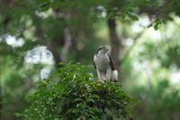 オオタカ親子 - 瑞穂の国の野鳥たち