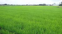 裏の田んぼは緑のじゅうたん - 東金、折々の風景