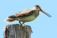 オオジシギ - 今日の鳥さんⅡ