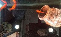 華麗なる金魚ライフ - A DAY IN THE LIFE/猫屋敷の日常