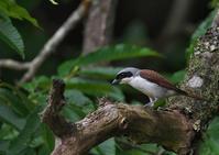遠征 チゴモズ 3 - 今日も鳥撮り