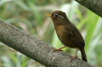 多摩川河川敷のガビチョウさん - *Toypoodle  x3 + Birds*