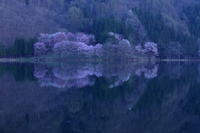 桜・響く~中綱湖のオオヤマサクラ~ - 拙者の写真修行小屋