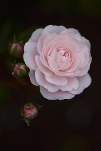 Pink Rose - 心の色~光生写真館~