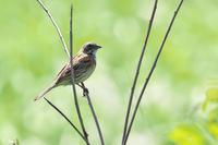 冬師湿原夏鳥観察会 - ひとり野鳥の会