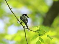 初見初撮りサンショウクイ - 『彩の国ピンボケ野鳥写真館』