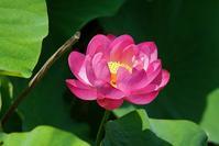白鷺公園のハスの花@2018-06-17 - (新)トラちゃん&ちー・明日葉 観察日記