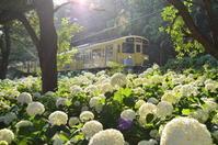 黄色い電車とアナベル - 鉄道日記コム