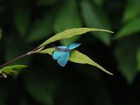 オオミドリシジミのテリ張と交尾 - 蝶超天国