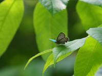 メスアカのテリ張とクロツの交尾 - 蝶超天国