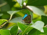 秋ヶ瀬公園のミドリシジミ - コーヒー党の野鳥と自然 パート2