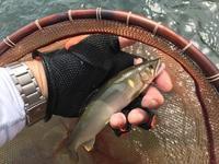神通川で約20㎝の鮎 - 鮎毛鉤釣りの旅