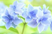 綺麗な紫陽花と^^ - 心 色