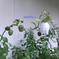 コドノプシスも咲きはじめてきた南側の庭♪ - Bleu Belle Fleur☆ブルーベルフルール