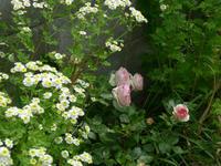 バラが咲いたよ/Roses of today. - 花と天然石ハンドメイドジュエリー