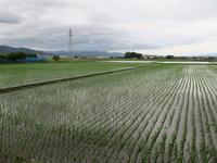 田植えの終わった水田にサギ - 有座の住まいる