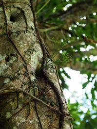 マツバラン(沖縄県浦添市201806 #12) - Blog: Living Tropically