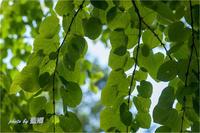 「グリーン」 - 藍の郷
