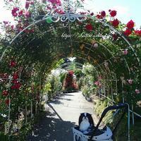 100メートルの薔薇のトンネル☆鶏レバー - 狆の茶々丸