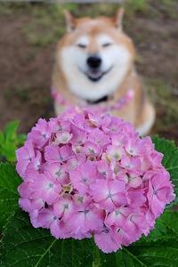 雨と紫陽花とコロ姫 - 写心食堂