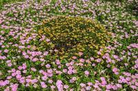 ハイブリット百合と蓮 - あだっちゃんの花鳥風月