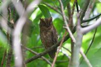 リュウキュウコノハズク - ごっちの鳥日記