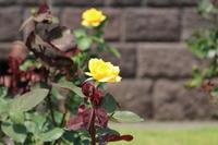 旧古河庭園のバラ♪2 - Let's Enjoy Everyday!