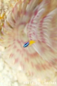 朝顔にはチビレモンがよく似合う ~レモンスズメダイ幼魚~ - 池ちゃんのマリンフォト