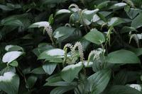 ■梅雨時の花 3種18.6.26(ハンゲショウ、チダケサシ、オカトラノオ) - 舞岡公園の自然2