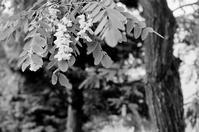 アカシアの雨 - 照片画廊
