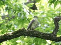 ツミがいました - コーヒー党の野鳥と自然 パート2