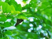 ツアーで沖縄、ついでに探蝶記(拾壱) - 不思議の森の迷い人