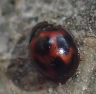 ムツボシテントウ Sticholotis punctata - 写ればおっけー。コンデジで虫写真
