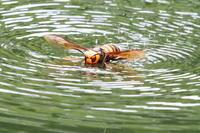 スズメバチの水泳 - 今日の鳥さんⅡ
