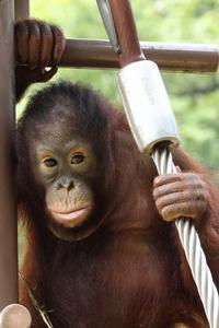 名前はチェリア、多摩動物園に居候してるオランウータンの女の子  - 旅プラスの日記